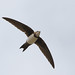 Small photo of Alpine Swift