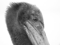 animal, head, flightless bird, monochrome photography, fauna, close-up, monochrome, black-and-white, beak, bird, ratite,