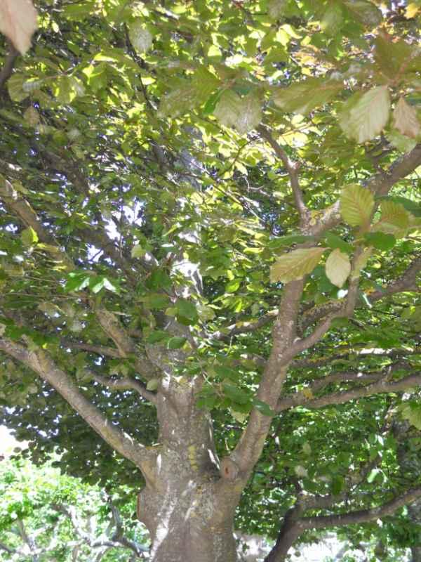 Fagus sylvatica 'Atropunicea' v 3