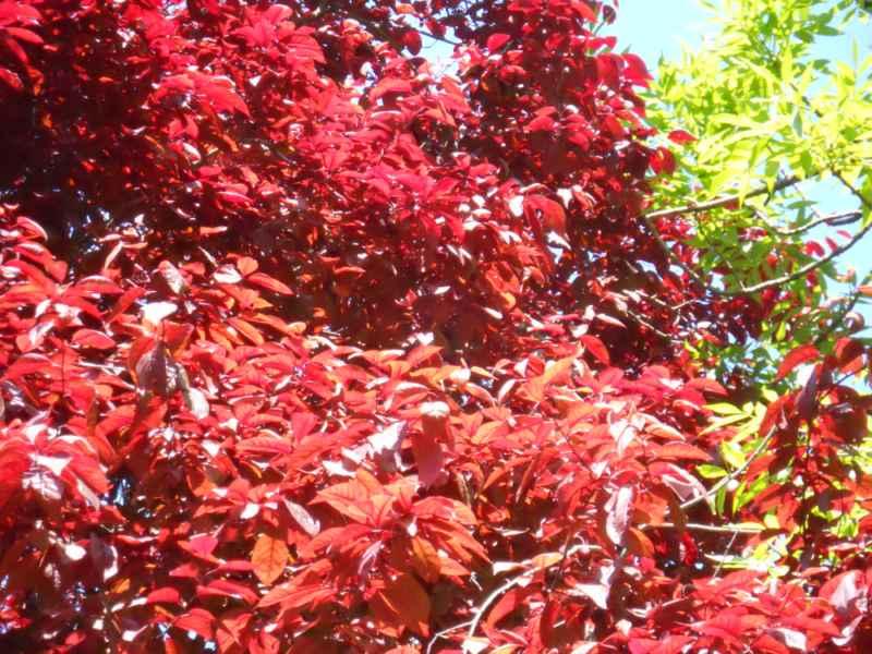Prunus cerasifera 'Nigra' hoja 3