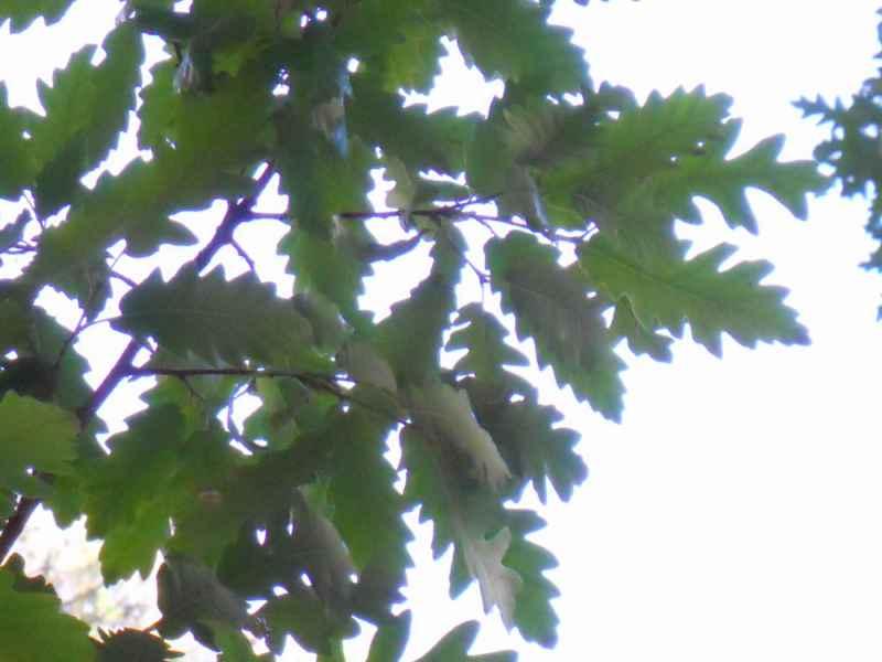 Quercus cerris detalle hojas 4