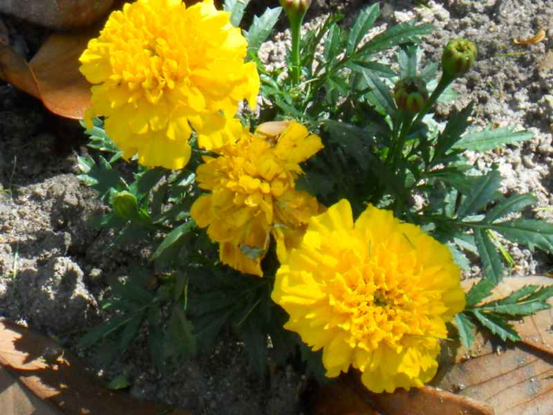 Tagetes erecta.. amarillo 2