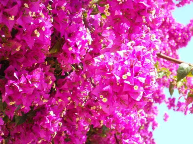Bougainvillea glabra 'Sanderiana' flor 2