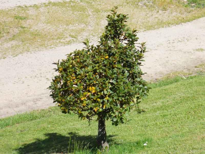 Laurus nobilis arbolito 3