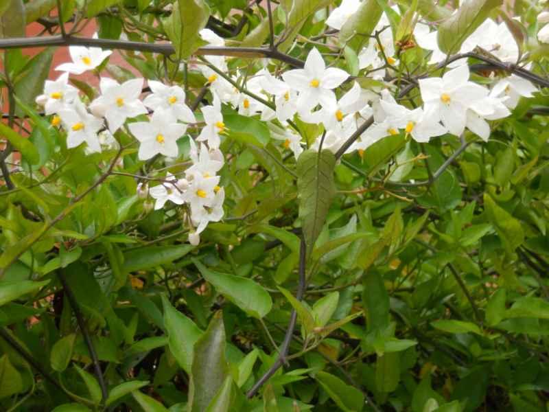 Solanum jasminoides 3