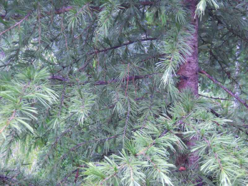 Picea breweriana detalle 3