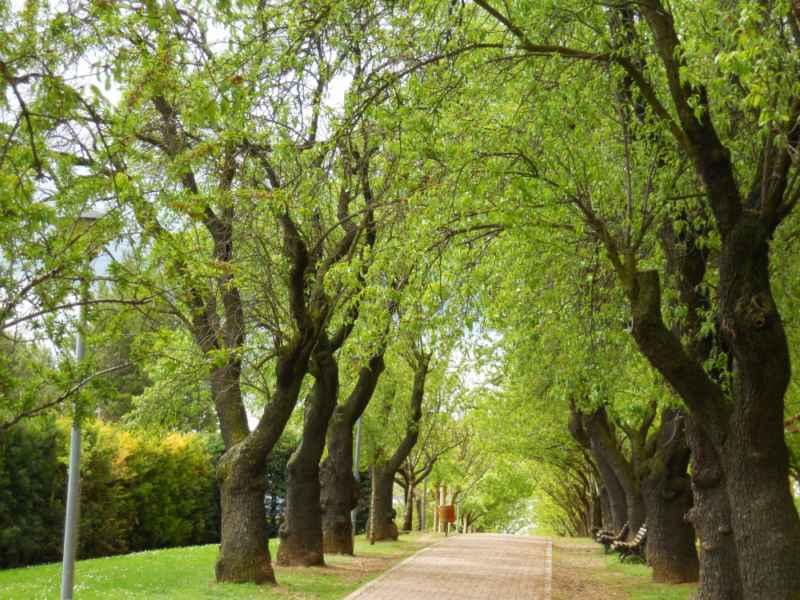 Prunus dulcis árboles 2