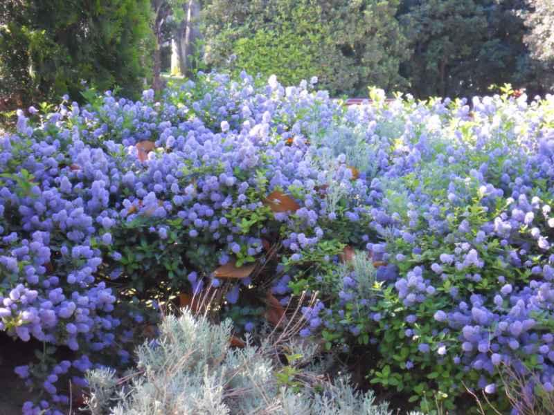 Ceanothus thyrsiflorus 'Repens'.. arbusto 1