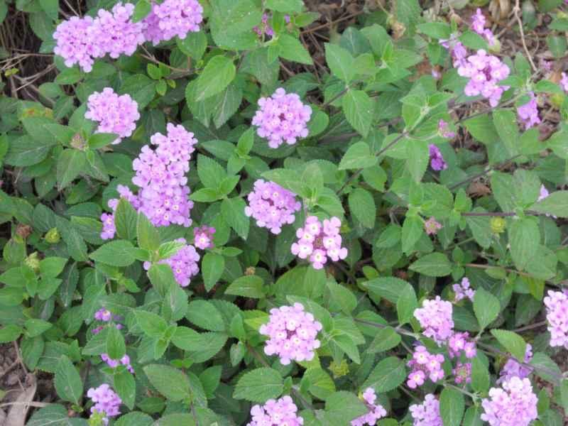 Lantana montevidensis 'Violet' cubresuelos 1