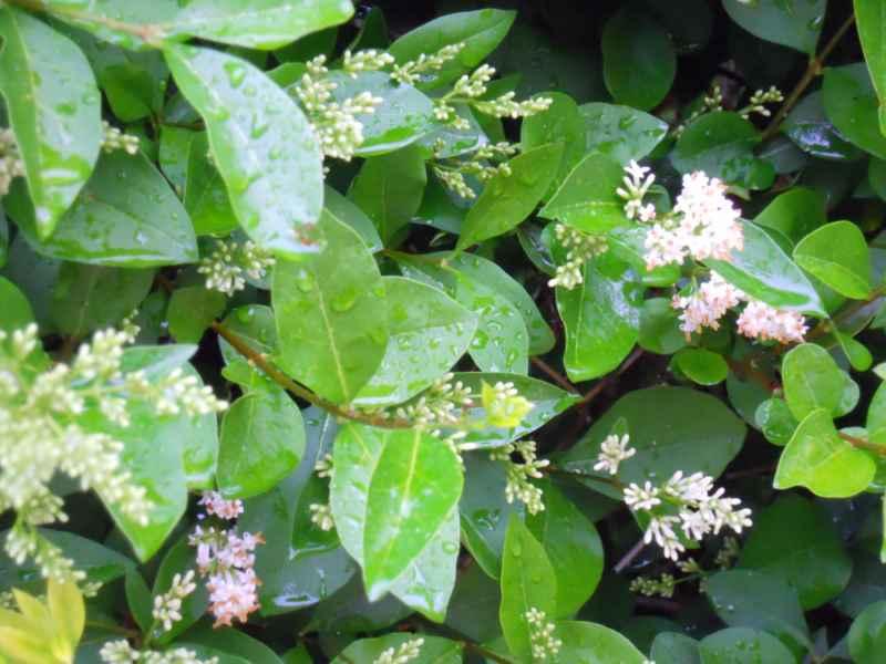 Ligustrum delavayanum flor 4