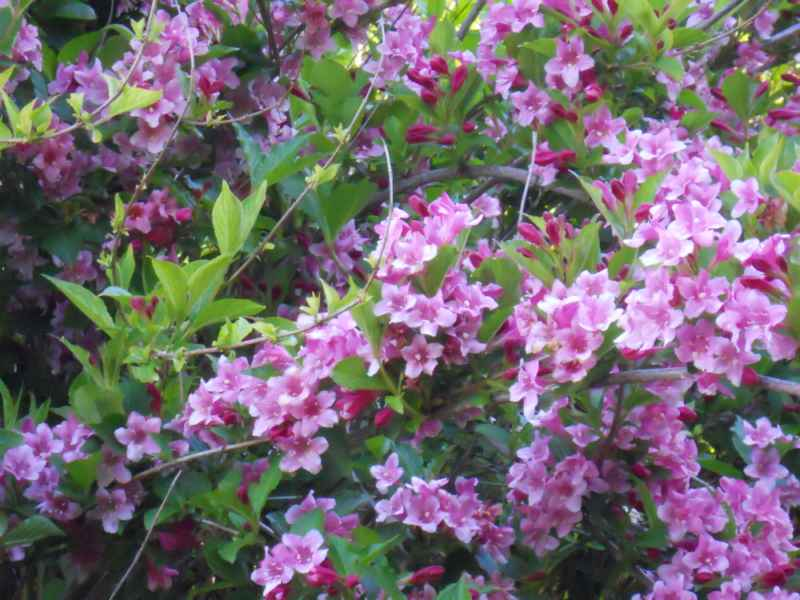 Weigela florida 'Folliis Purpureis' flor 3