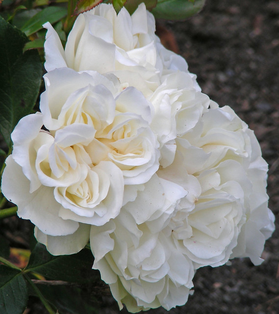 meidiland white shrub roses flickr photo sharing. Black Bedroom Furniture Sets. Home Design Ideas