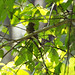 Small photo of Acadian Flycatcher