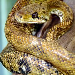 sidewinder(0.0), kingsnake(0.0), boas(1.0), animal(1.0), serpent(1.0), eastern diamondback rattlesnake(1.0), snake(1.0), reptile(1.0), hognose snake(1.0), fauna(1.0), garter snake(1.0), scaled reptile(1.0),