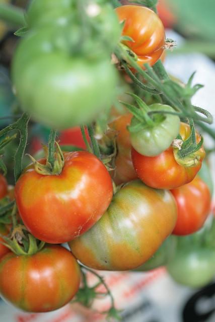 """Tomatid """"Terma"""""""