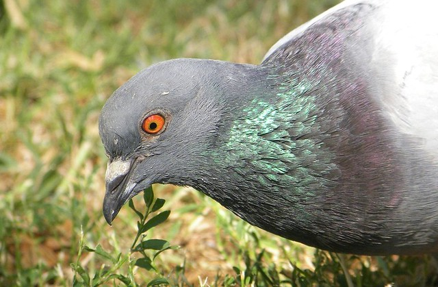 Domestic Pigeon Flickr Photo Sharing