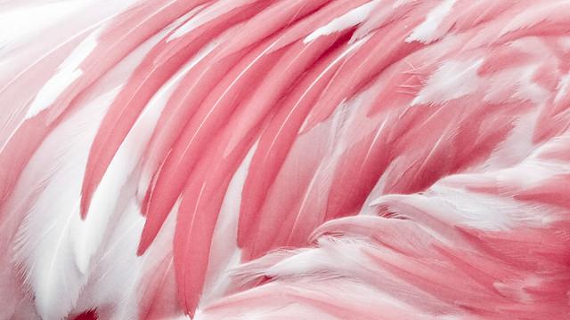 Beautiful garden wallpaper - Pink Flamingo Feather Flickr Photo Sharing
