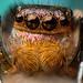 jumping spider -- Habronattus hallani by bugeyed_G