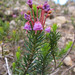 Red Mountain-Heather - Photo (c) Gravitywave, some rights reserved (CC BY-NC-SA)