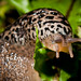 Leopard Slug - Photo (c) Bob Stone, some rights reserved (CC BY-NC-SA)