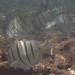 Small photo of CONVICT TANG - Acanthurus triostegus