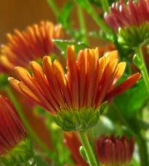 gaillardia(0.0), annual plant(1.0), calendula(1.0), flower(1.0), plant(1.0), gerbera(1.0), daisy(1.0), macro photography(1.0), herb(1.0), wildflower(1.0), flora(1.0), plant stem(1.0), chrysanths(1.0), daisy(1.0), petal(1.0),