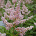 Astilbe - Photo (c) raz1940 et Charlotte, some rights reserved (CC BY-NC)