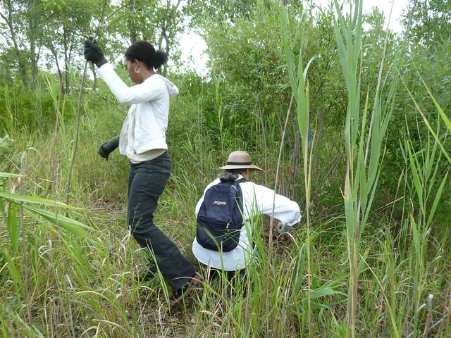 Volunteers harvest invasive willow saplings. Photo by Elizabeth Peters.