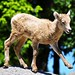 Rocky Mountain Bighorn Sheep - It's A Boy!