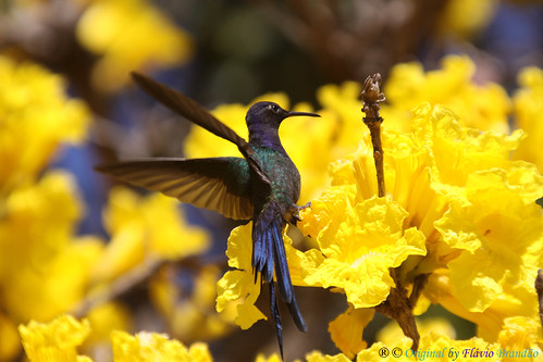 brazil naturaleza bird nature birds animal animals brasília brasil cores hummingbird natureza pássaro aves ave series hummingbirds animais cor pássaros série beijaflor tesoura colibri picaflor swallowtailed macroura beijaflortesoura séries colibris eupetomenamacroura beijaflores swallowtailedhummingbird eupetomenamacrourus eupetomena fláviobrandão macrourus идеизацвят