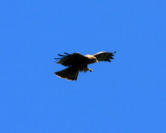 vulture(0.0), raven(0.0), crow(0.0), crow-like bird(0.0), condor(0.0), animal(1.0), bird of prey(1.0), eagle(1.0), wing(1.0), fauna(1.0), bald eagle(1.0), accipitriformes(1.0), beak(1.0), bird(1.0), flight(1.0),