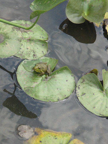 Little frog on lily pad
