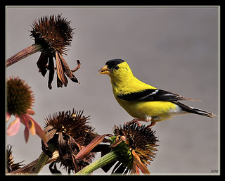 Goldfinch on Coneflower.jpg