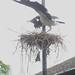 Small photo of London Zoo: Abdim's Stork