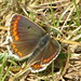 Small photo of Brown Argos Butterfly