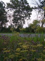 Bronze Fennel and Verbena bonariensis in the meadow garden