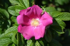 rosa 㗠centifolia(0.0), floribunda(0.0), shrub(1.0), garden roses(1.0), flower(1.0), rosa gallica(1.0), plant(1.0), rosa rubiginosa(1.0), rosa canina(1.0), flora(1.0), rosa multiflora(1.0), rosa acicularis(1.0), rosa rugosa(1.0), petal(1.0),