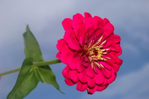 *** ZINNIA  BEAUTY ***