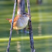 Marsh Wren by Jerry Ting