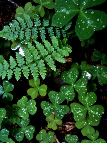 Shamrocks and Ferns