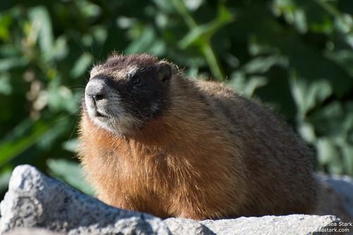 Marmot ©ChelseaStark http://www.chelseastarkphotography.com by chelseastarkphotography.com