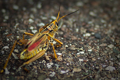 arthropod, locust, animal, cricket, yellow, nature, invertebrate, insect, macro photography, grasshopper, fauna, close-up, wildlife,