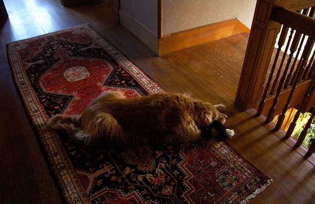 Bonnie on the rug with a black sock; 22 Parker Rd (2006)
