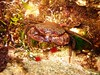 Velvt Swimming Crab eating a winkle