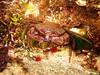 Velvt Swimming Crab eating a winkle