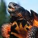 Glyptemys insculpta - Wood Turtle - missing nuchal by Jonathan Mays