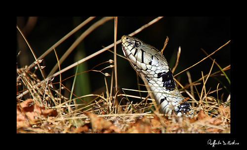 Flickriver photos from monteflavio lazio italy for Serpente cervone