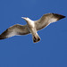 Small photo of Soaring on the Wind
