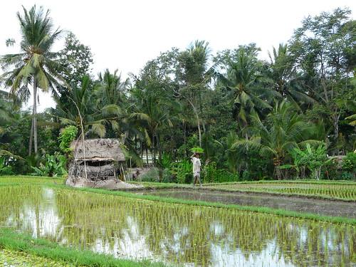 Arrozal en Ubud (Bali)