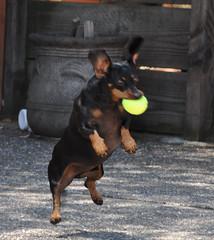 rottweiler(0.0), animal(1.0), dog(1.0), german pinscher(1.0), dobermann(1.0), pet(1.0), mammal(1.0), miniature pinscher(1.0), pinscher(1.0),